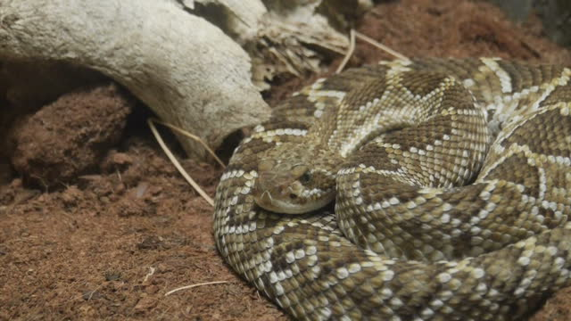 interior shots of a rattlesnake coiled up in a zoo enclosure on june 08, 2015 in mexico city, mexico. - viper stock videos & royalty-free footage