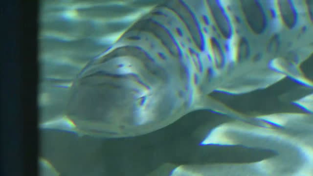 interior shots of a ray and leopard shark swimming in an aquarium on january 24, 2017 in san diego, ca. - aquatic organism stock videos & royalty-free footage