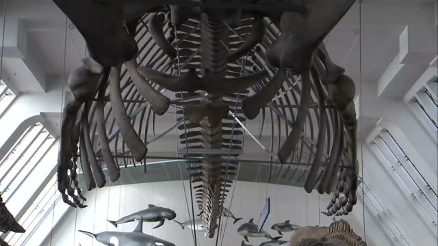 interior shots of a replica skeleton of a blue whale in the natural history museum on january 29, 2015 in london, england. - cetacea stock videos & royalty-free footage