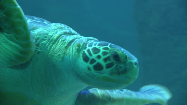 Interior shots of a Turtle in captivity swimming around a water tank in the Sea Life Centre on September 23 2014 in Hunstanton England