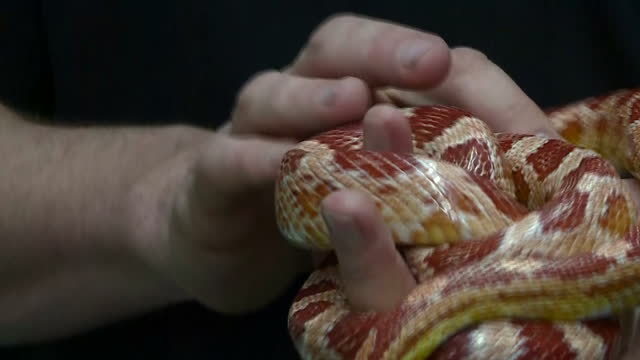 interior shots of an animal rescue worker handling a rescued corn snake at an animal shelter on december 21 2016 in birmingham england - snake stock videos & royalty-free footage