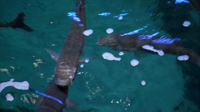 interior shots of aquarium staff feeding the fish at the national marina aquarium on 12th june 2020 in plymouth england - tropical fish stock videos & royalty-free footage