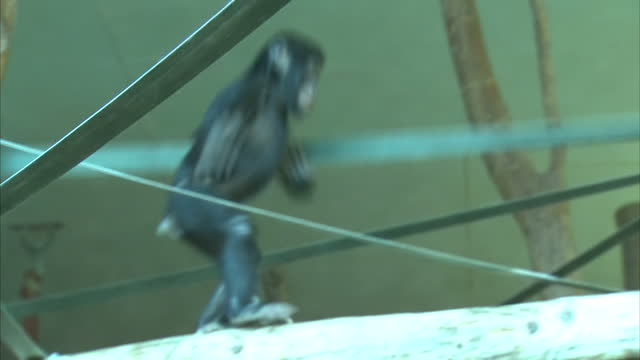 Interior shots of baby bonobo ape swinging on climbing ropes in zoo enclosure on March 08 2016 at Twycross Zoo England Twycross Zoo which is the only...