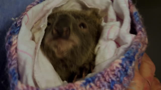 interior shots of baby koala bear wrapped in blanket rescued from the wildfires, devastating new south wales, on 15 november 2019 in taree, australia. - rescue stock videos & royalty-free footage