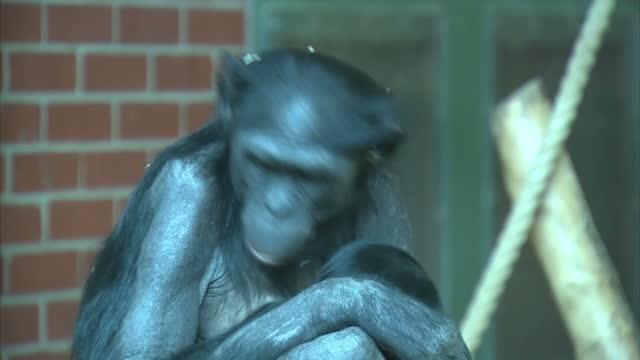 interior shots of bonobo apes in enclosure with one of them cradling a baby bonobo on march 08, 2016 at twycross zoo, england. twycross zoo, which is... - one baby boy only stock videos & royalty-free footage