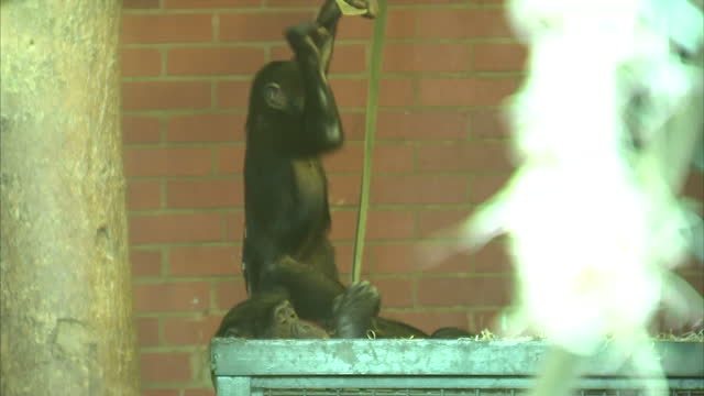 Interior shots of bonobo apes playing in zoo enclosure including baby bonobo swinging on ropes on March 08 2016 at Twycross Zoo England Twycross Zoo...