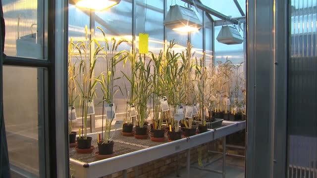 vídeos de stock e filmes b-roll de interior shots of genetically modified crops growing under lights in large greenhouse. genetically modified crops inside greenhouse on june 20, 2013... - modificação genética