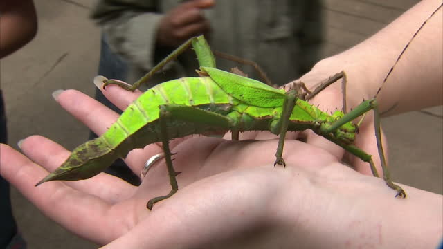 stockvideo's en b-roll-footage met interior shots of giant green brown bugs walking on zookeepers arm inside enclosure at chester zoo giant bugs at chester zoo at chester zoo on june... - omsloten ruimte