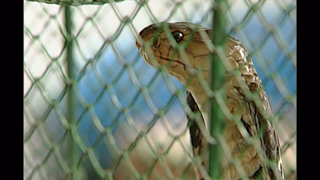 vídeos de stock e filmes b-roll de interior shots of hooded cobras in a cage in a restaurant specialising in snake dishes, occasionally spitting on november 26th, 1999 in beijing,... - jaula