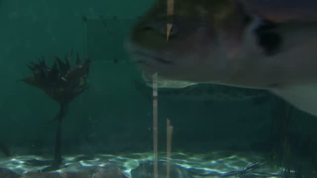 vídeos de stock, filmes e b-roll de interior shots of leopard shark and other fish swimming inside tank on january 24, 2017 in san diego, ca. - organismo aquático