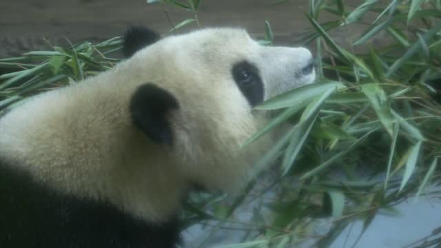 stockvideo's en b-roll-footage met interior shots of panda cubs in an enclosure in chengdu zoo eating bamboo on july 23 2016 in chengdu china - panda