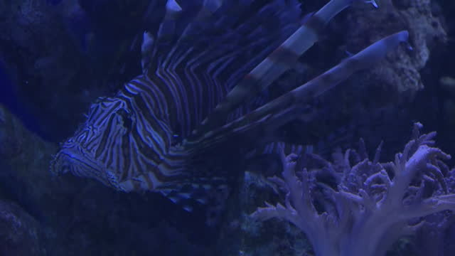 interior shots of red lionfish and leafy sea dragon swimming inside aquarium tank on january 24, 2017 in san diego, ca. - drachenkopf stock-videos und b-roll-filmmaterial