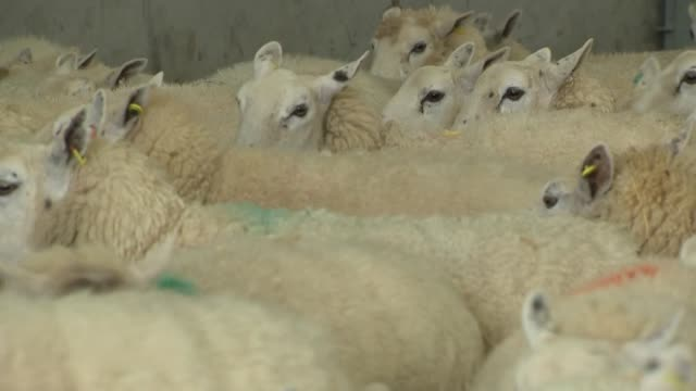 interior shots of sheep inside a building on a farm on 8 march 2019 in cirencester england - farm stock videos & royalty-free footage