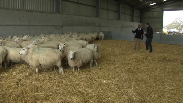 vídeos y material grabado en eventos de stock de interior shots of sheep inside a building on a farm on 8 march 2019 in cirencester england - mamífero ungulado