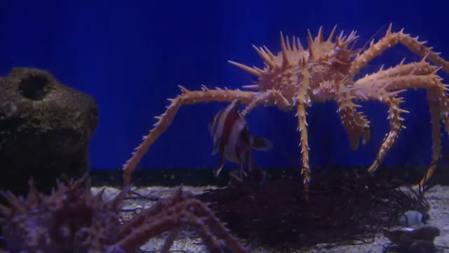 Interior shots of spider crabs in a marine aquarium on January 24 2017 in San Diego CA