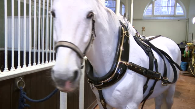 interior shots of storm and tyrone the two horses that will pull the royal carriage during the celebrations on 2 may 2018 in royal mews london - hooved animal stock videos and b-roll footage