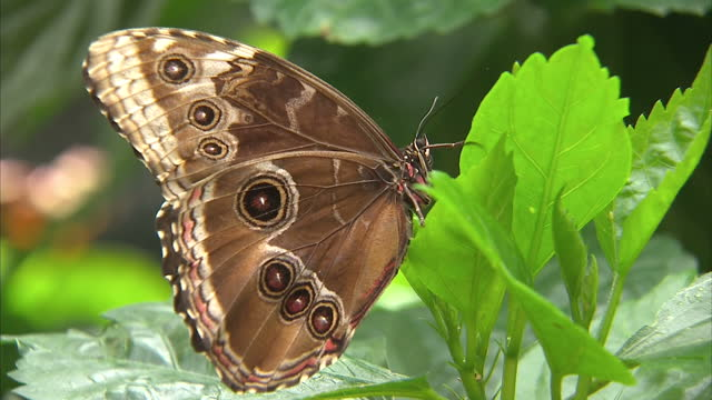 stockvideo's en b-roll-footage met interior shots of various butterflies on leaves inside butterfly enclosure at chester zoo butterflies at chester zoo at chester zoo on june 15 2013... - omsloten ruimte