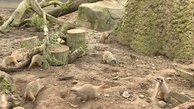 interior shots several meerkats foraging in zoo enclosure at twycross zoo leicestershire on sunday 12th march 2017 - foraging stock videos and b-roll footage