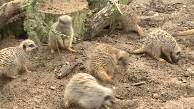 interior shots several meerkats foraging in zoo enclosure at twycross zoo leicestershire on sunday 12th march 2017 please note colour briefly drops... - foraging stock videos and b-roll footage