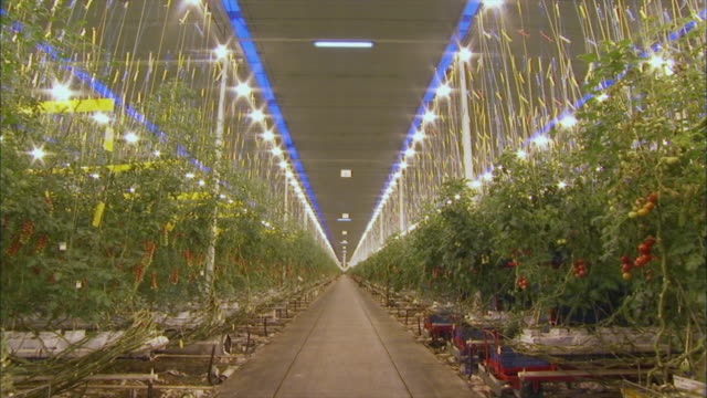 Interior views of a large tomato greenhouse