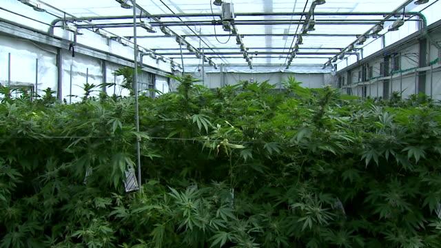 Interiors cannabis farm with cannabis being grown for clinical trials