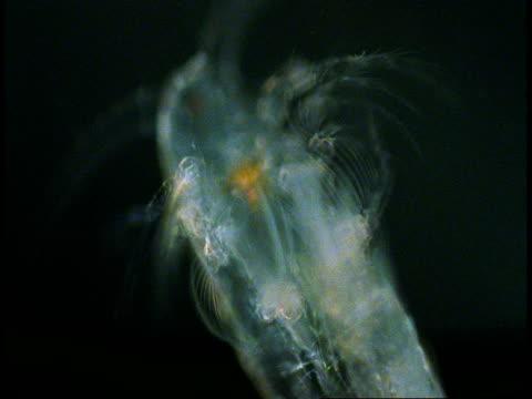 internal organs pulsate inside a transparent copepod. - gliedmaßen körperteile stock-videos und b-roll-filmmaterial