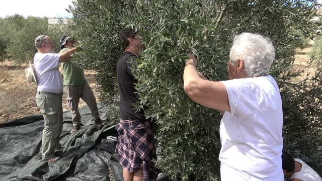 ISR: Volunteers Assist Palestinian Olive Harvest In The West Bank