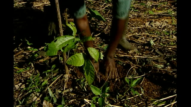 International Cocoa Quarantine Centre in Reading T17070115 / TX Farm worker planting cocoa plant