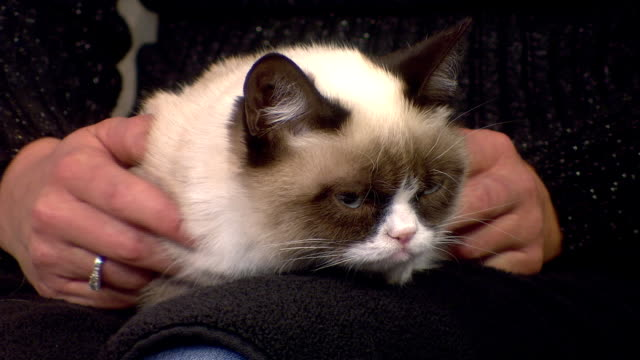 internet celebrity grumpy cat appearance on today - sulking stock videos & royalty-free footage
