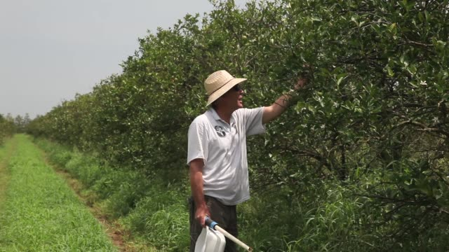 interview - guy davies explains why sprouting trees are notably more prone to psyllid attacks than older trees and how producers combat the problem.... - オレンジ果樹園点の映像素材/bロール