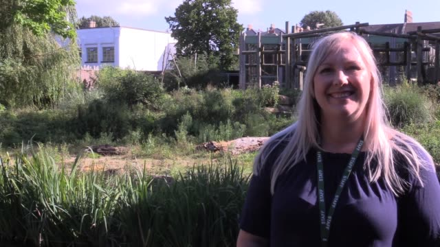 interview with lynsey bugg, bristol zoo's curator of mammals, who talks about the birth of a baby western lowland gorilla on wednesday morning at the... - curator stock videos & royalty-free footage