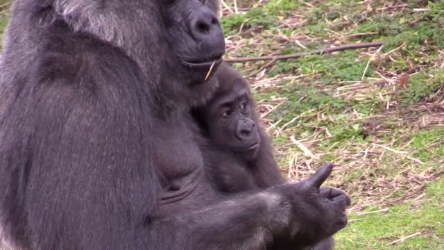 interview with lynsey bugg, curator of mammals at bristol zoo, and gvs of afia, a baby gorilla born by emergency caesarean section who is celebrating... - curator stock videos & royalty-free footage