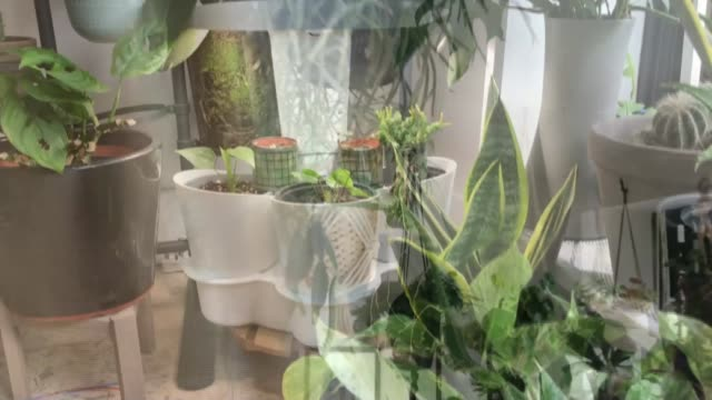 """interview with """"the plant rescuer"""" sarah gerrard-jones; england: london: close shot cactus reporter asking question sot sarah gerrard-jones interview... - cactus stock videos & royalty-free footage"""