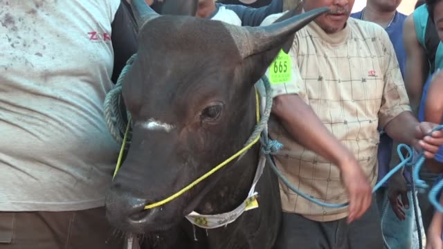interviews withseven children from bogor city, indonesia bought a cow for eid al-adha sacrifice after saving nearly a year. the seven children, aged... - 0 11 months stock videos & royalty-free footage