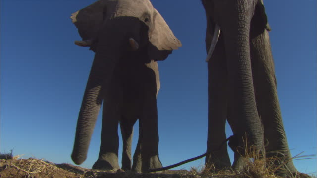 stockvideo's en b-roll-footage met la ms into cu 2 african elephants play with stick standing on edge of riverbank - laag camerastandpunt