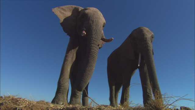 stockvideo's en b-roll-footage met la ms into cu 2 african elephants standing on edge of riverbank - laag camerastandpunt