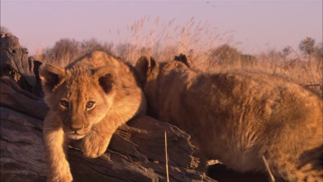 stockvideo's en b-roll-footage met cu into ms 2 african lion cubs playing on fallen tree trunk - meer dan 50 seconden