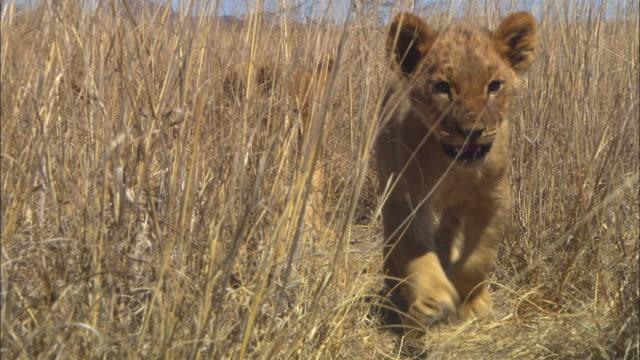 ms into cu 2 african lion cubs walk in line through long grass towards camera - 長さ点の映像素材/bロール
