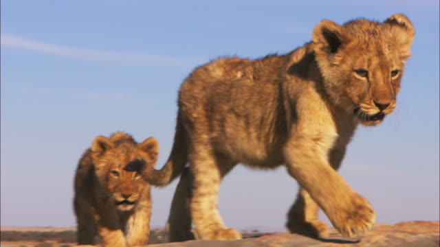 ms into cu 2 african lion cubs walk towards camera over rock - lion cub stock videos & royalty-free footage