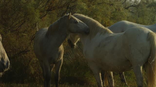 vídeos y material grabado en eventos de stock de ms into cu 2 white camargue horses mutual grooming - acicalarse