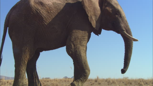 ms into cu african elephant stands in profile then walks directly to camera - 一匹点の映像素材/bロール