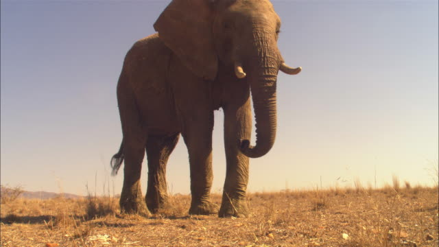 MS into CU African elephant walks up very close to camera and feeds