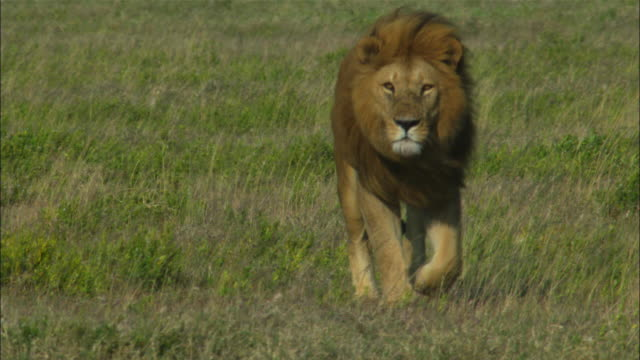 MS into CU African lion walks directly to camera in grass