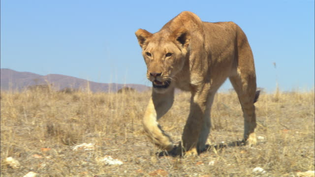 MS into CU African lioness walks towards camera
