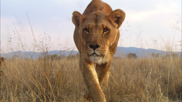 MS into ECU African lioness walks up to camera looking intent