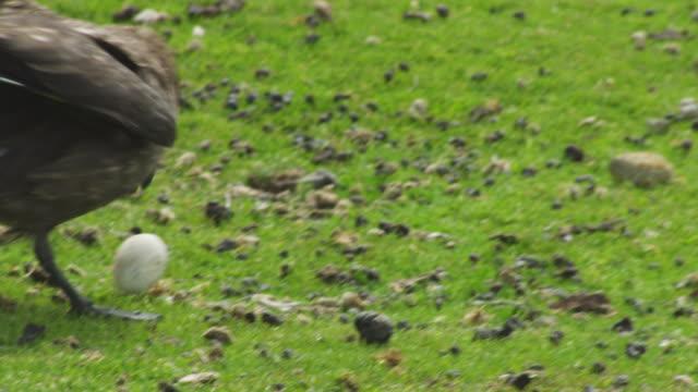 pan ms into cu antarctic skua lands on grass with rockhopper penguin egg in its beak - atlantikinseln stock-videos und b-roll-filmmaterial