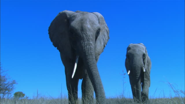LA MS into CU as 2 African elephants walk to camera
