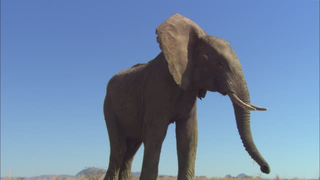 LA CU into MS as African elephant backs away from camera and shakes its head