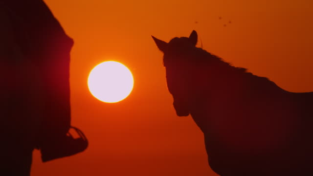 MS into CU Camargue horses with herder in silhouette with sun setting in background