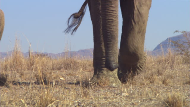 CU into ECU feet of African elephant walking towards camera